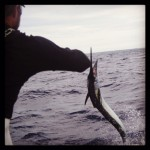sailfish jump