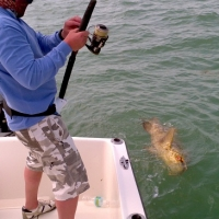goliath grouper islamorada